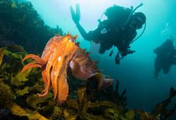 Diver giant cuttle.jpg