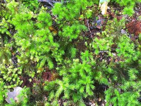 自分の重さの20倍もの水を蓄える『苔』は森の小さな力持ち