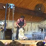 羊の毛刈りショー.jpg