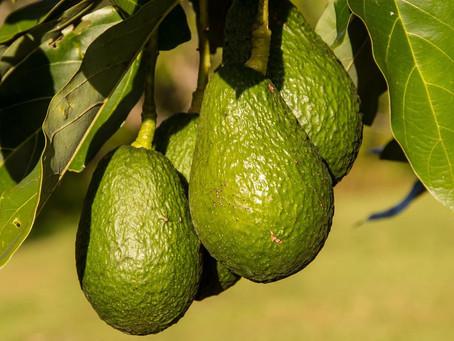 アボカドは世界で最も栄養のある果物!安心・安全なNZ産アボカドを食べよう!