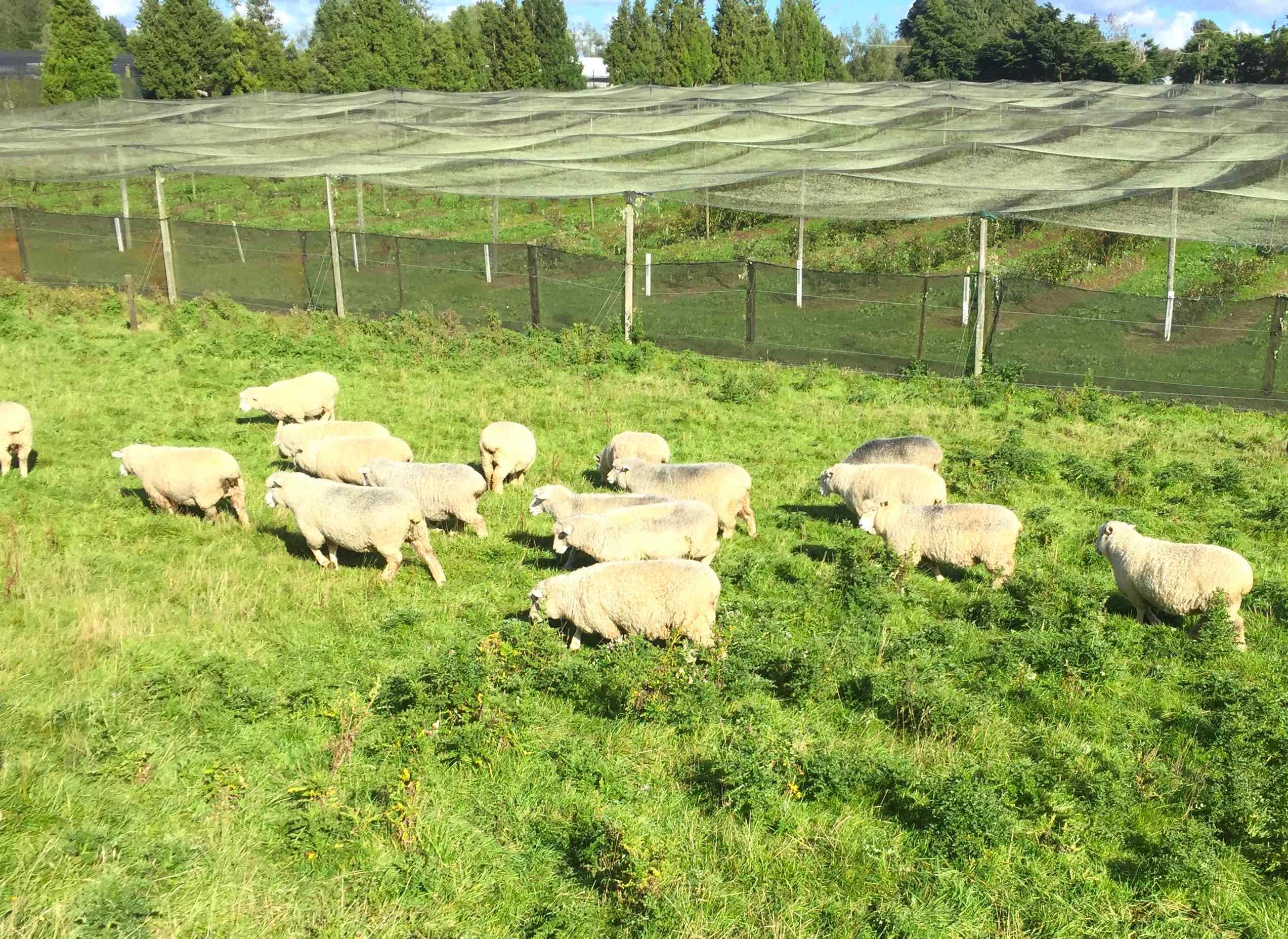 果樹園とのどかに過ごす羊たち