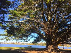 湖畔に佇む巨木