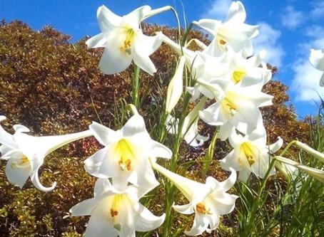 世界中で人気の女王花『ユリ』は日本の原種と深い関わりがあった