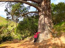 見上げる高さの巨木