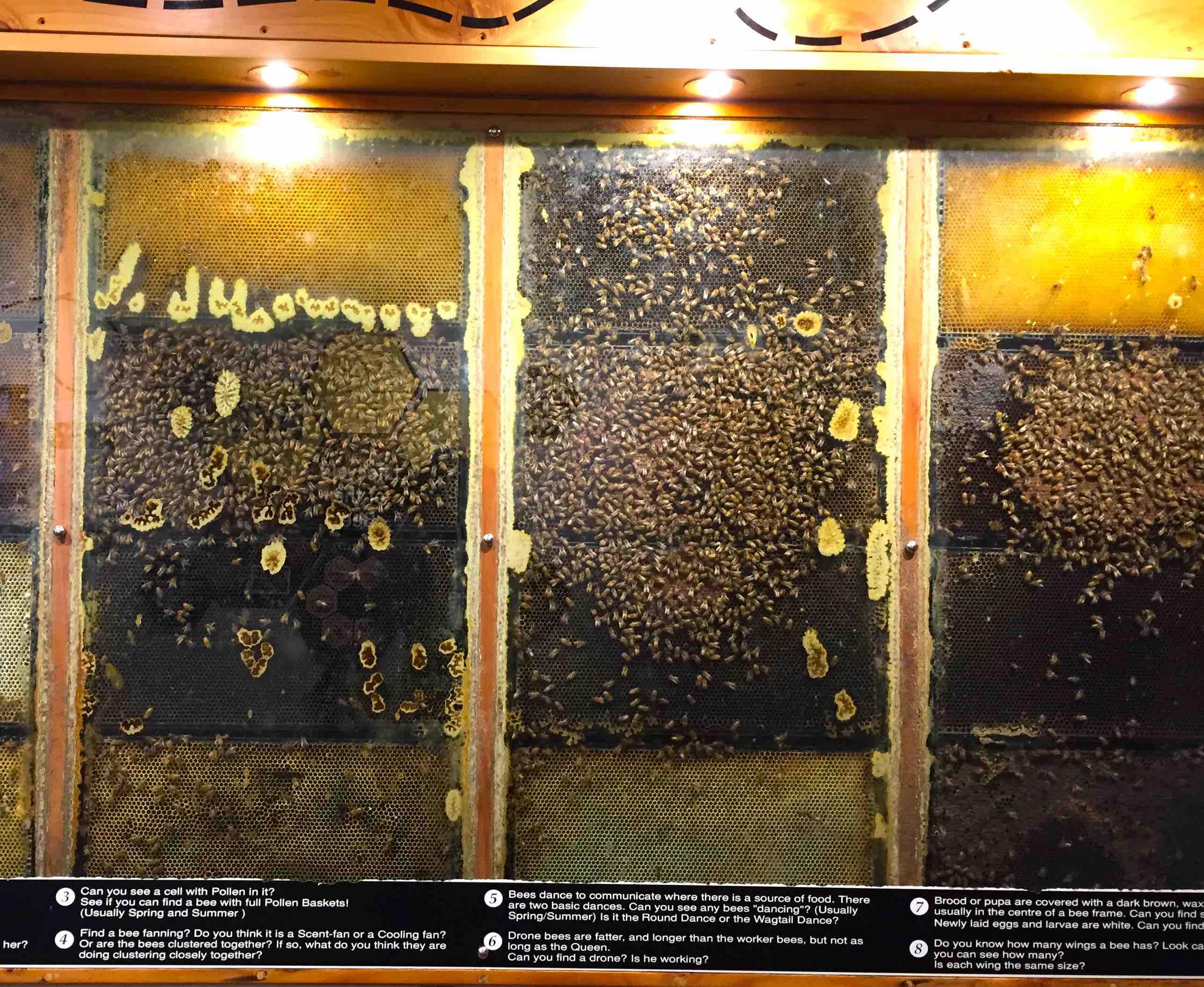活動している蜜蜂の展示スペース