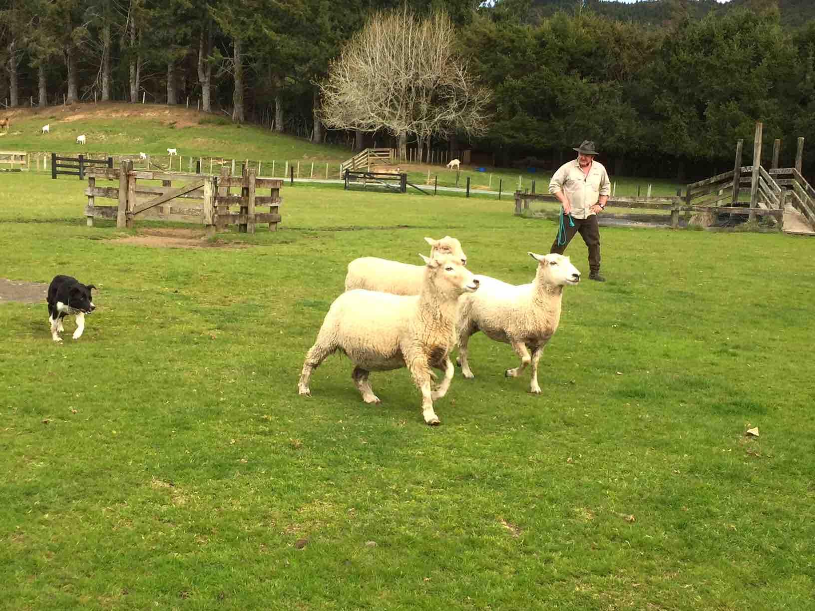 牧羊犬の羊追いパフォーマンス