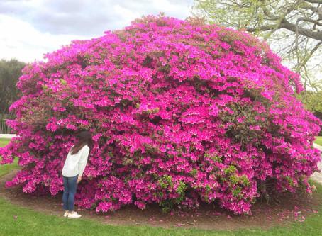 ツツジやフジなど春の花が満開を迎えたロトルア