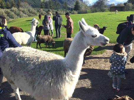 メリノウールよりも高品質!?NZでアルパカを飼育する農家が増えている