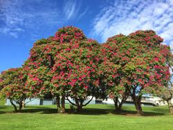 クイラウパーク向かいで咲くシャクナゲ
