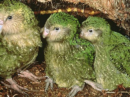 NZの保護活動が結実!飛べない鳥カカポの雛が70羽誕生!
