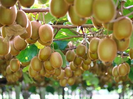 キウイフルーツ果樹園