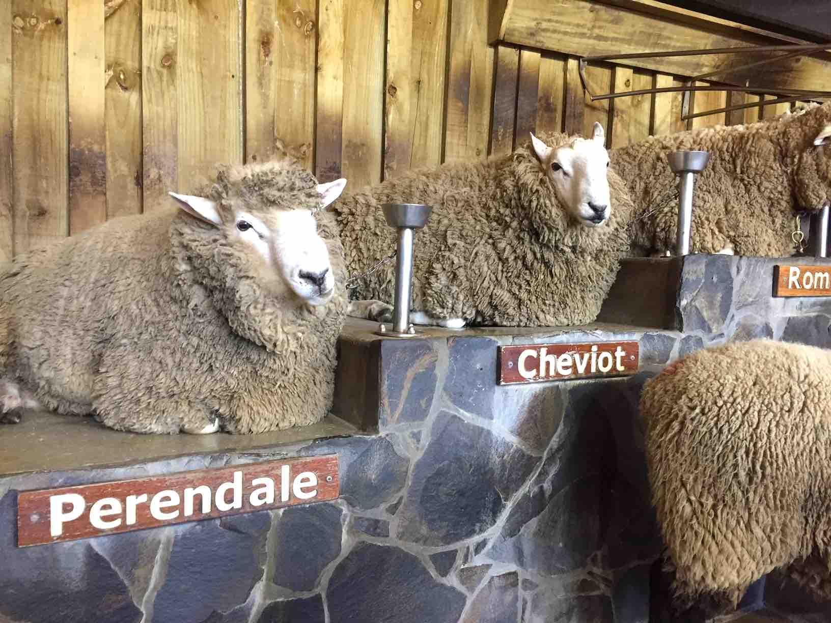 それぞれに特徴を持つ羊
