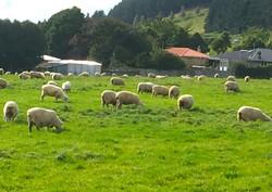 施設隣には羊たちの群れ