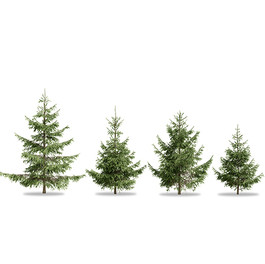 Spruces_06