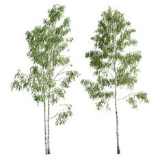 Birch_forest_part_09