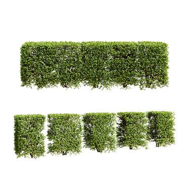 Spiraea hedge