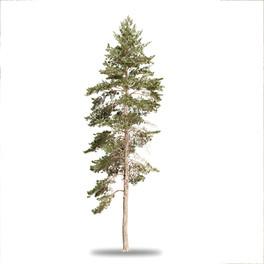 Pinus Large 01