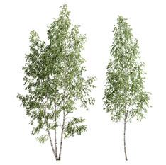 Birch_forest_part_11