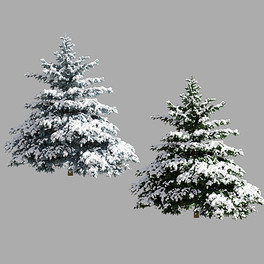 Picea Pungens 02 Winter
