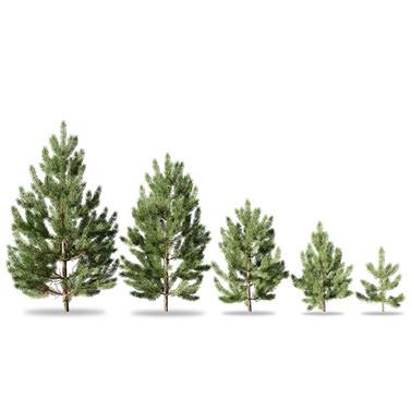Pinus Sylvestris Young