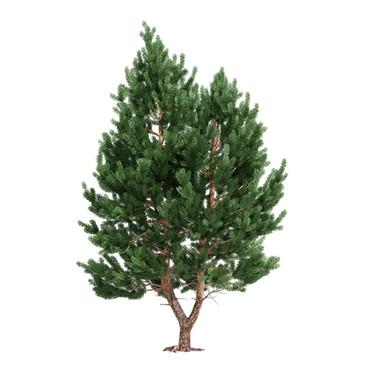 Pinus_03
