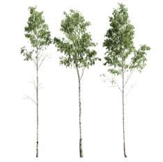 Birch_forest_part_01