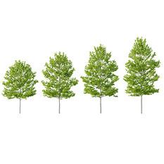 Tree - Platanus Tree - Set Of 4 Trees