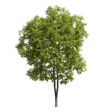 Ash Tree (17m)