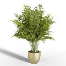 Parlor palm golden