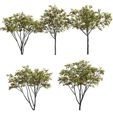 Malus Hybridus - Set Of 5 Trees - Hybrid
