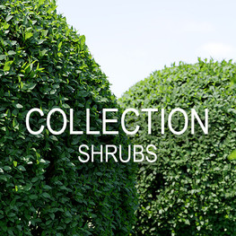 c shrubs.jpg
