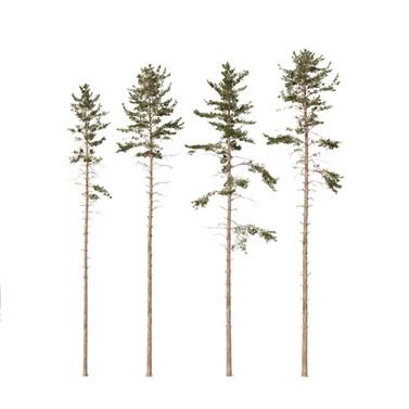 Common Pine (23-26m) Pinus Sylvestris