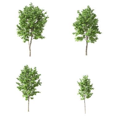 Maple Trees 11 (Set Of 4 Trees 4.9-6.7m)