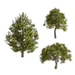 Pinus_mugo_07