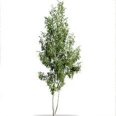 Birch Betula Tree (14.5 M)