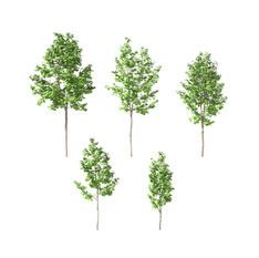 Maple Tree 09(Set Of 5 Trees 3.2-5m)