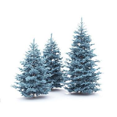 Spruce Picea