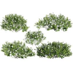Spiraea_betulifolia_02