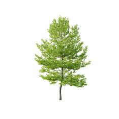 Tree - Platanus Tree 05