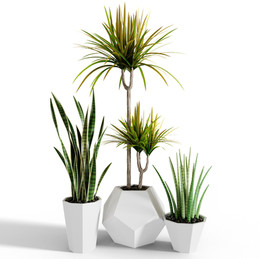 Interior Plants - Draceana And Sansevier