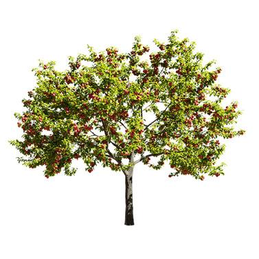 Malus fruit apple tree 02