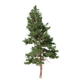 Pinus Large 03