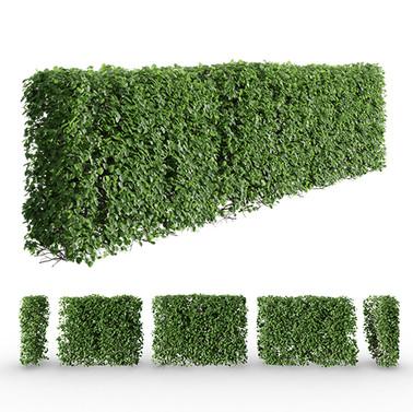 Crataegus Hedge - Hawtorn Or Quickthorn