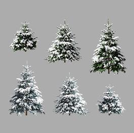 Picea Pungens - Set Of 3 Coniferous