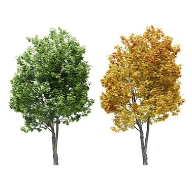 Maple Tree (8m) Acer Summer + Autumn Ver