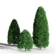 Boxwood Ordinary - Buxus Tree Bush