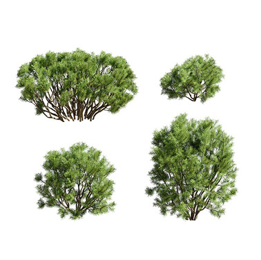 Pinus_Mugo_02