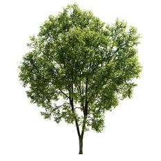 Ash-tree_07(15,5m)