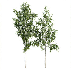 Birch Betula Tree - Set Of 2 Trees