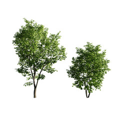 Maple Tree_05 (9.5-13.5m) Set Of 2 Acer